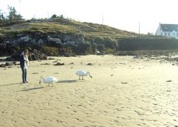 Portnacross Seaside Cottages - feeding the swans on the beach
